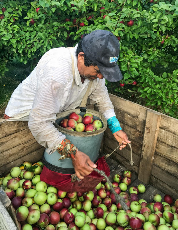 Migrant worker Daniel Avellaneda unloading a bushel bag of McIntosh apples on Michigan's Old Mission Peninsula. Each bag weighs about 50 pounds per load.