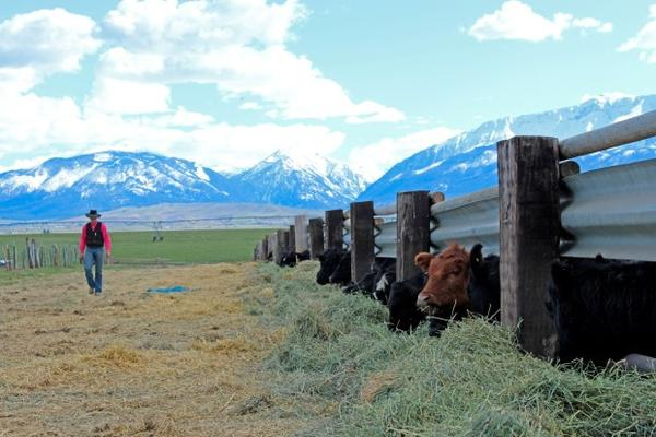 <p>Cattle poke their heads through the fence at Kelly Birkmaier's property east of Enterprise, Oregon.</p>