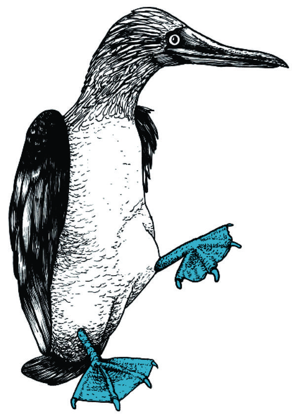 The Blue-Footed Booby