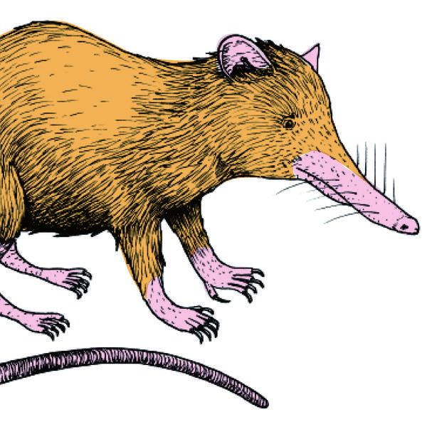 Illustrator Jelmer Noordeman's rendering of a real-life creature: the venomous, nocturnal solenodon.