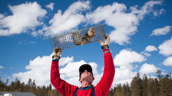 John Hoogland of the University of Maryland's Center for Environmental Science holds up a female prairie dog to check for signs of pregnancy, nursing or injury.