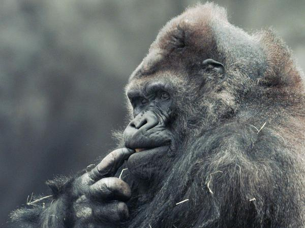 Ivan, a silverback gorilla who lived for 27 years in a Tacoma, Wash., shopping mall, chews on his finger at the Atlanta Zoo in 1996. The story was the inspiration for Katherine Applegate's book <em>The One and Only Ivan.</em>