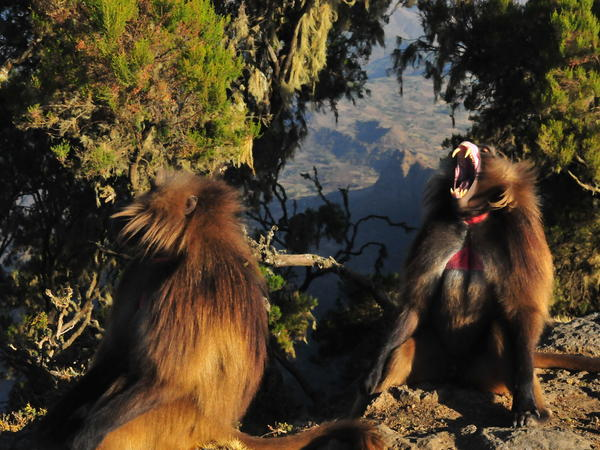 Geladas have the largest canine-to-body-size ratio of any mammal. And those fangs are not used for eating.