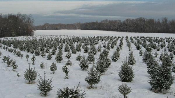 The Carrolls, who once raised cattle, decided three decades ago to raise Christmas trees instead. The trees take seven to 12 years to mature.