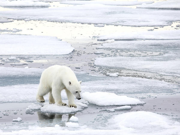 "Climate skeptic Willie Soon <a href=""https://www.youtube.com/watch?v=AmoKRz5VcbI"">has argued in the past</a> that too much ice is bad for polar bears. An investigation into Soon's funding found he took money from the fossil fuel industry and did not always disclose that source."