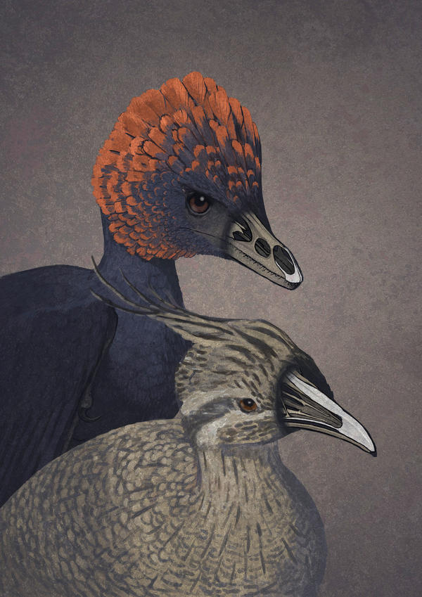 An artist's rendition of anchiornis, a non-avian dinosaur <em></em>(top), and a modern tinamou, with key bones highlighted in each face.