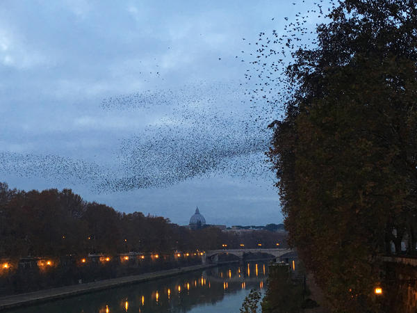 "At dusk over the Tiber River, tens of thousands of starlings dance above the trees in an aerial display called a murmuration. <a href=""http://www.bbc.com/news/science-environment-29599792""> </a>"