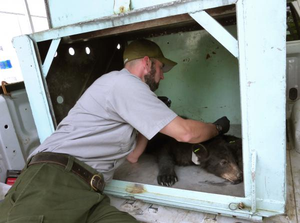 Ryan Williamson injects a female bear yearling with a drug concoction that will counteract the anesthetizing drugs it was given for processing. It will wake up only a few minutes later.