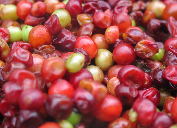 The small, red schisandra berry has a peculiar taste — five tastes, in fact, because it's considered to be at once sweet, sour, salty, bitter and pungent.