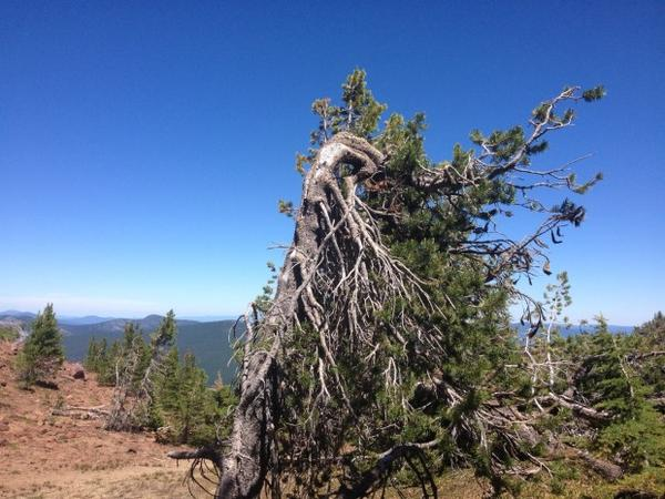 <p>Whitebark pines thrive in rugged mountain in environments.</p>