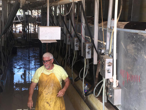 A worker milking cows at a farm in Manati, Puerto Rico, on Thursday. Puerto Rico's dairy farmers account for about a third of the island's total agricultural production. Now they're struggling to recover their cows and get them milked.