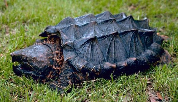 An alligator snapping turtle, one of several wild turtle species that live in Missouri.