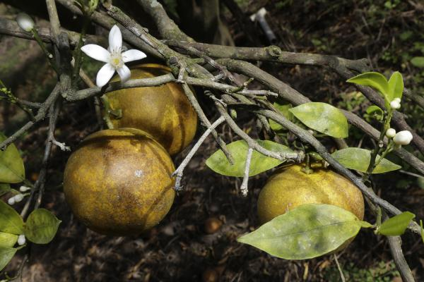 An orange blossom grows alongside some ripening fruit in a grove in Plant City, Fla. (Chris O'Meara/AP)