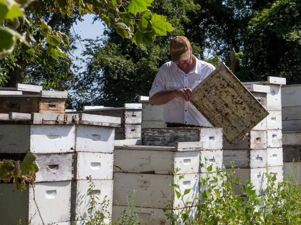Richard Coy inspects one of his hives near Burdette, Ark. Honey production at this location fell by almost half this year — which he attributes to the drifting of weedkiller dicamba to nearby flowering plants.