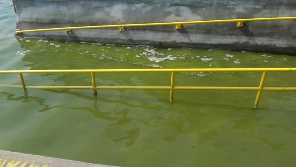 Blue-green algae in Skaneateles Lake