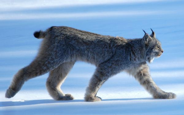 The Cottonwood decision says the U.S. Forest Service may need to draw up a new management plan for 12 million acres of critical Canada Lynx habitat.