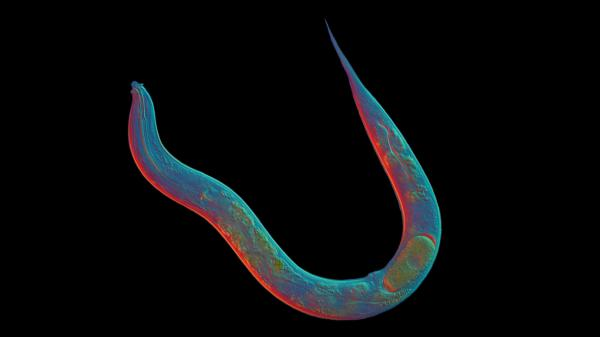 When it comes to sex, the roundworm <em>Diploscapter pachys </em>is a loner.