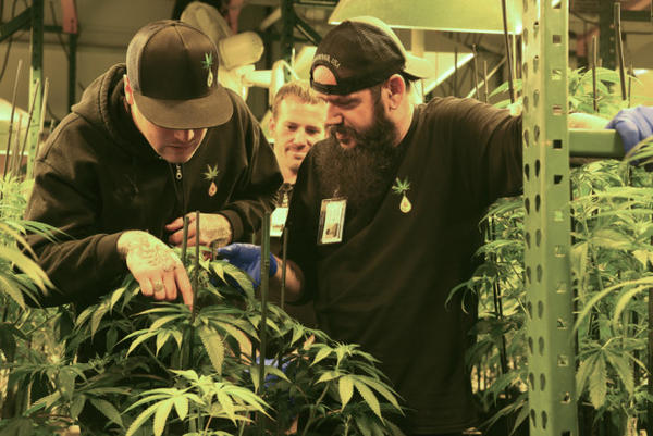 <p>Casey Dawson, left, Matt Michaelson and Bryan Houghton look over a marijuana plant at Cedar Creek Cannabis in Vancouver in June.</p>