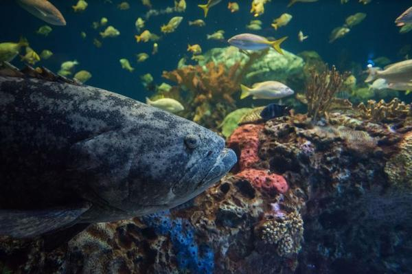 Goliath Groupers can weigh up to 700 pounds.