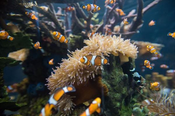 Clownfish circle about in another pop-up tank