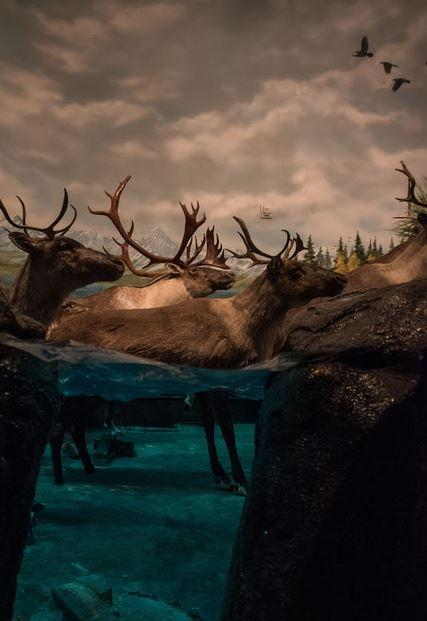 Caribou traveling through water.