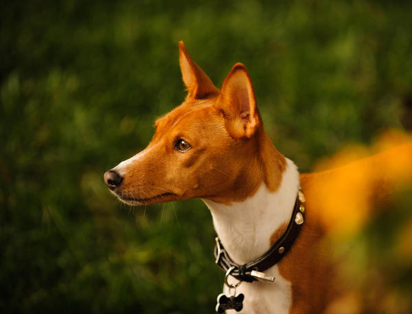 One of the most famous African dog breeds, the basenji is closely related to street dogs found throughout West Africa.