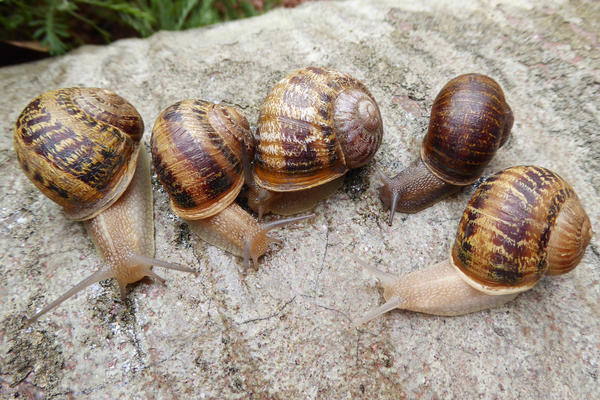 "Snails Senda (left), Jara, Tomeau, Jeremy and Indi hang out together at the University of Nottingham's labs. Jeremy was the lab's original sinistral snail; the others are his ""Spanish pals,"" as scientist Angus Davison puts it."