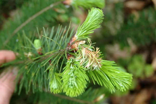 <p>Characteristic sudden oak death shoot blight symptoms on emerging shoot and needles of a Douglas fir.</p>