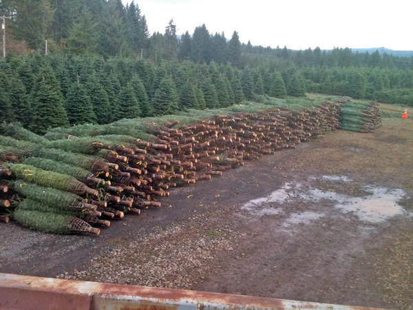 Northwest Christmas trees will be in short supply this year.