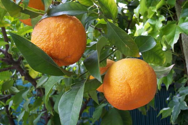 Oranges imported to Florida are on the increase this season.
