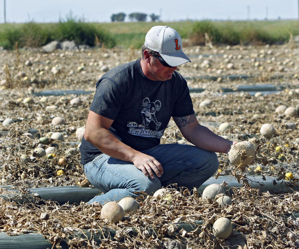 <p>Eric Jensen examines cantaloupe on the Jensen Farms near Holly, Colo., in late September. The FDA recalled cantaloupe grown on the farm after connecting the melons with a deadly listeria outbreak. </p>