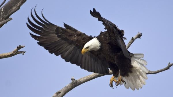 A bald eagle in flight. The Northern Arapaho Tribe in Wyoming has won an unprecedented permit to hunt two bald eagles for use in religious ceremonies.