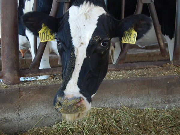 A dairy cow peeks out of its stall at Case van Steyn's dairy in Galt, Calif.