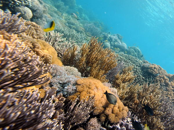 Fish swim by a colorful variety of coral near Indonesia's Komodo island.