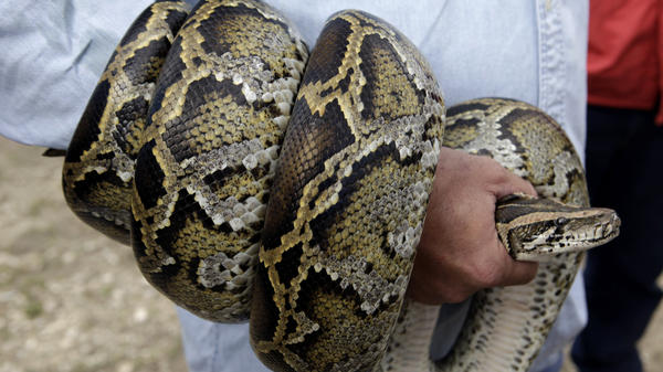 A Burmese python coils around the arm of a hunter during a news conference in 2010 in the Florida Everglades. New research suggests that the pythons won't spread through the American Southeast, as previously believed.