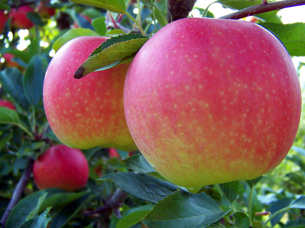 Ripe Gala apples are ready for picking at an orchard in South Haven, Mich.