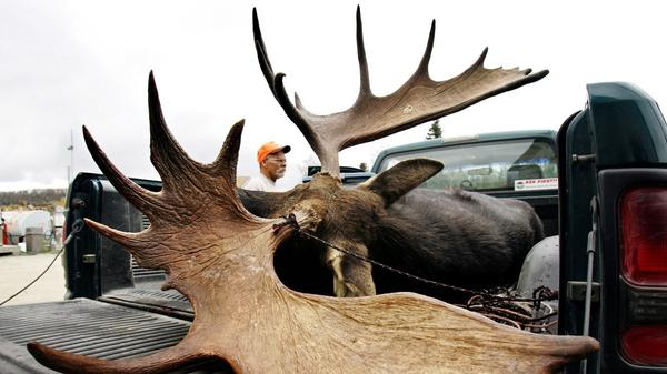 A large bull moose is inspected by a hunter at a weigh station in Maine.