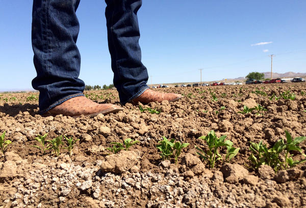 Salt appears in white clumps in a newly sprouted chile field in Garfield, N.M.