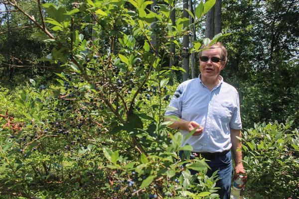 Mark Ehlenfeldt, a USDA blueberry breeder, in a century-old planting of Rubel blueberries in Whitesbog.