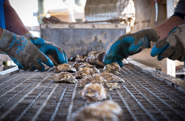 As the wild oyster population resurges, there is an added bonus — our waterways are getting cleaner.