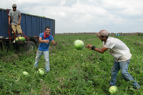 Workers harvest watermelons in Texas's Rio Grande Valley.