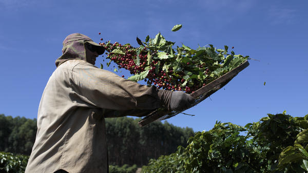 A worker separates coffee cherries during harvest at a plantation in Brazil's Minas Gerais state. Brazil's coffee exports fell to 2.6 million bags in June, a 12 percent drop from a year ago, according to a report last week by Cecafe, the country's coffee export council.