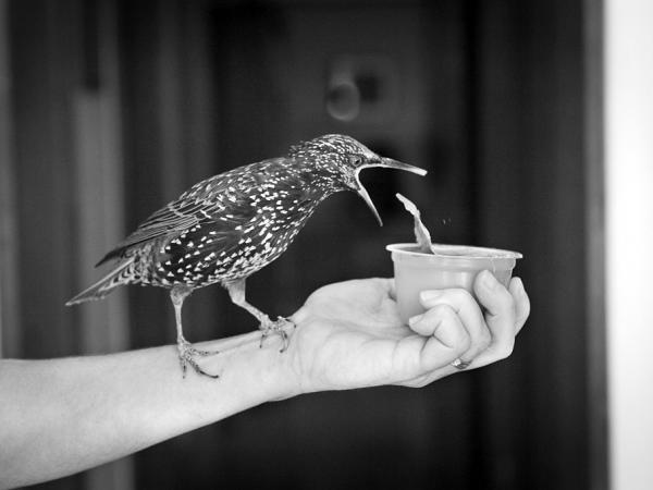 Carmen, the pet starling of author Lyanda Lynn Haupt, prepares to dine on applesauce.