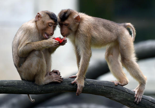 Macaques are social animals, whether in a group enclosure like this one at the Gelsenkircen zoo in western Germany, or in the wild. But many research monkeys are still housed in separate cages.