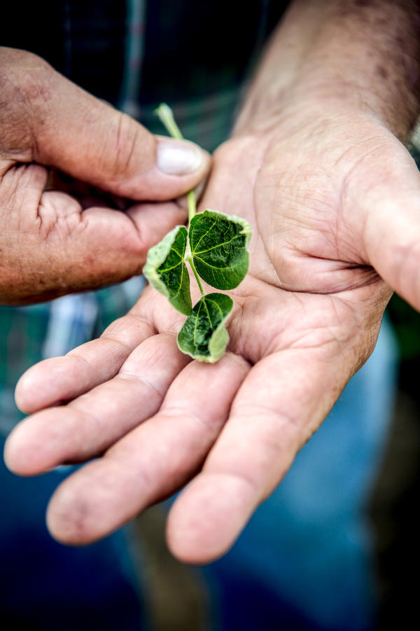 Lyle Hadden, a soybean farmer, holds leaves and a stalk from a soybean plant in a field he planted that shows signs of being affected by dicamba.