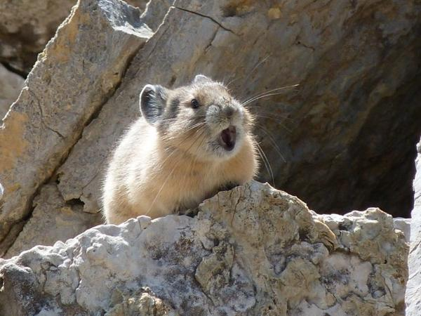 <p>American pika making its distinctive call.</p>