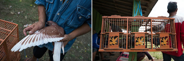 Left: Pigeon handlers determine the age of a young bird by watching the development of its feathers. Right: A wooden pigeon cage has compartments where pigeon couples are housed in monogamous pairs.