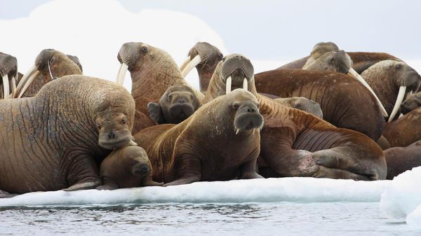 "The Pacific walrus is facing ""extinction from climate change"" after the White House refused to list the species as endangered, one conservation group says."