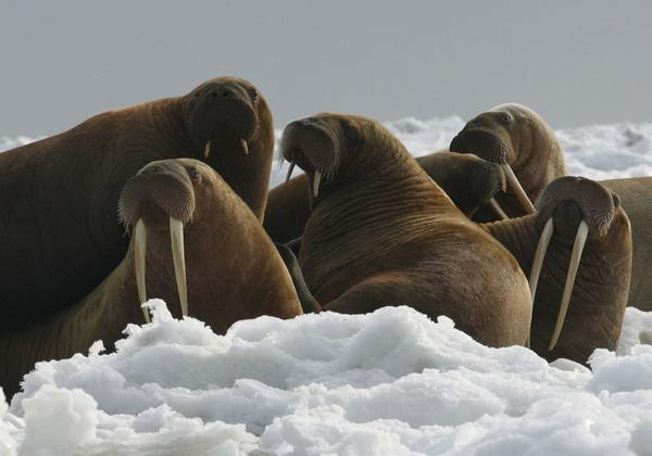 In this April 18, 2004, file photo provided by the U.S. Fish and Wildlife Service, Pacific walrus cows and yearlings rest on ice in Alaska. The Trump administration will not add Pacific walrus to the threatened species list. The U.S. Fish and Wildlife Service announced Wednesday, Oct. 4, 2017, that it can't say with certainty that walrus are likely to become endangered despite an extensive loss of Arctic sea ice due to global warming. (Joel Garlich-Miller/U.S. Fish and Wildlife Service via AP)