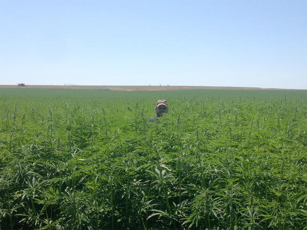 The first, legal modern-day industrial hemp crop in Washington state was harvested from a field near Moses Lake in early October.